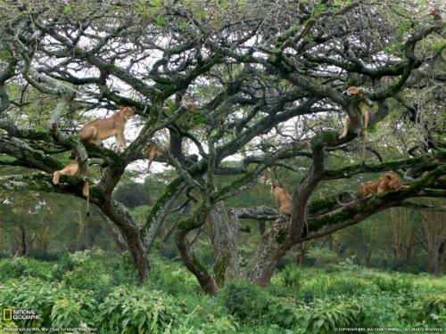 Lions, Kenya (photo: Mrs Wai Chun Turnbull)