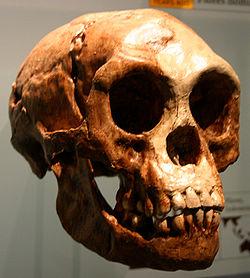 Image : crâne de l'homme de Florès (Homo floresiensis)