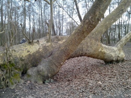 Photo : platane qui repousse après avoir été mis à terre et à moitié déraciné