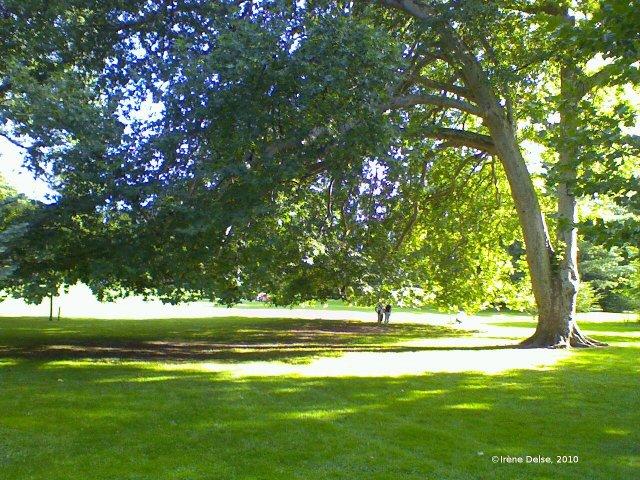 Photo : grand platane étendant largement son ombre en été. (Irène Delse, 2010)