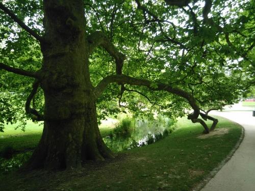 Grand platane dont des branches traînent à terre