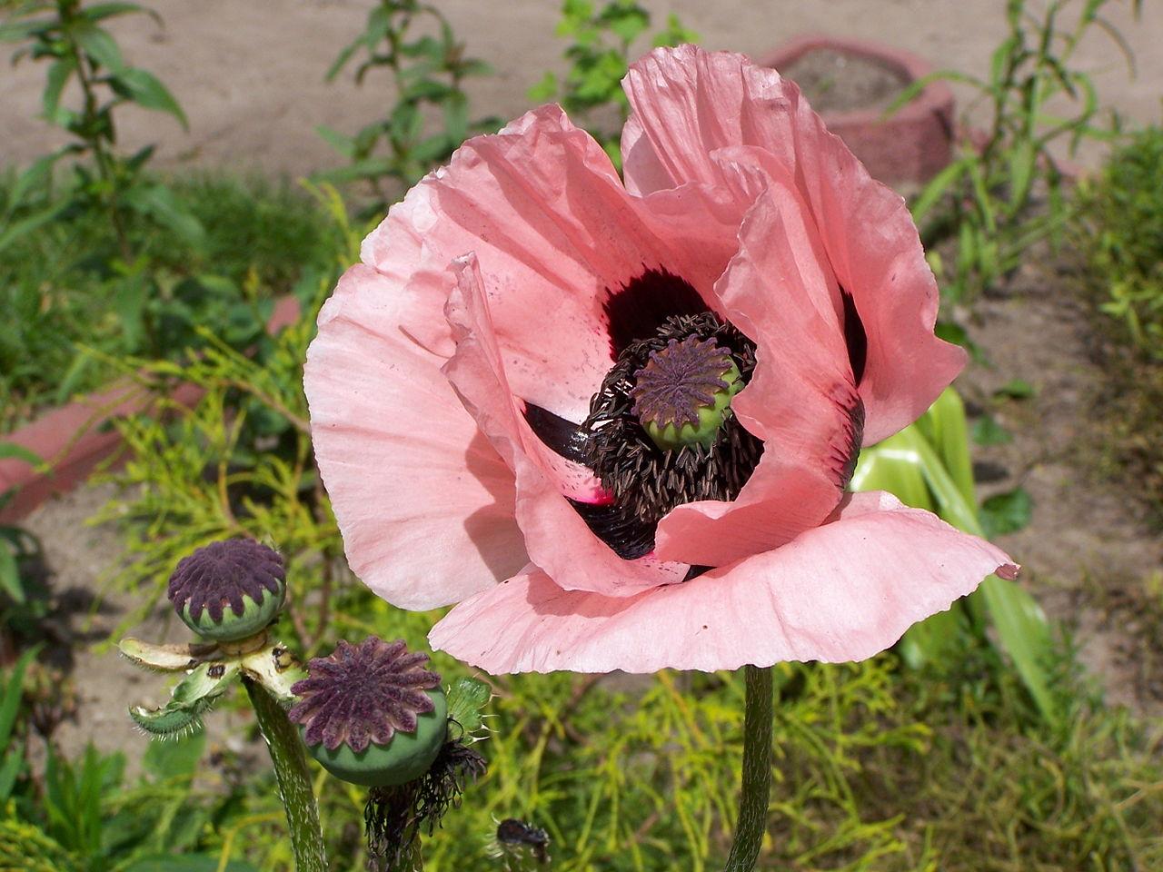Fleur de pavot à opium, rose pâle avec un centre noir